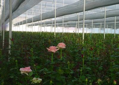 Rosas-bajo-Aluminet2